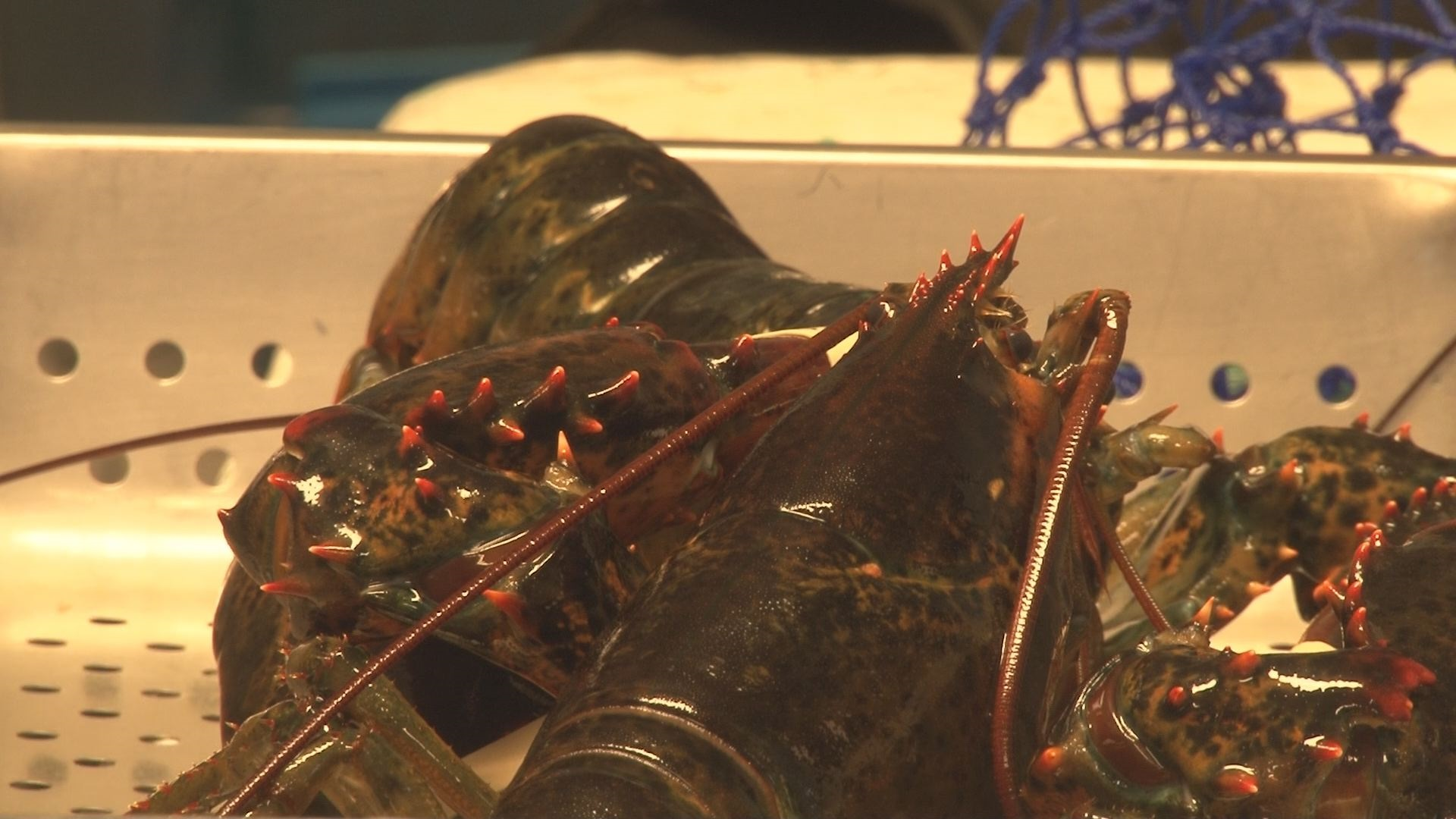 Rings in stomach could be key to telling lobsters' ages   WLBZ2.com