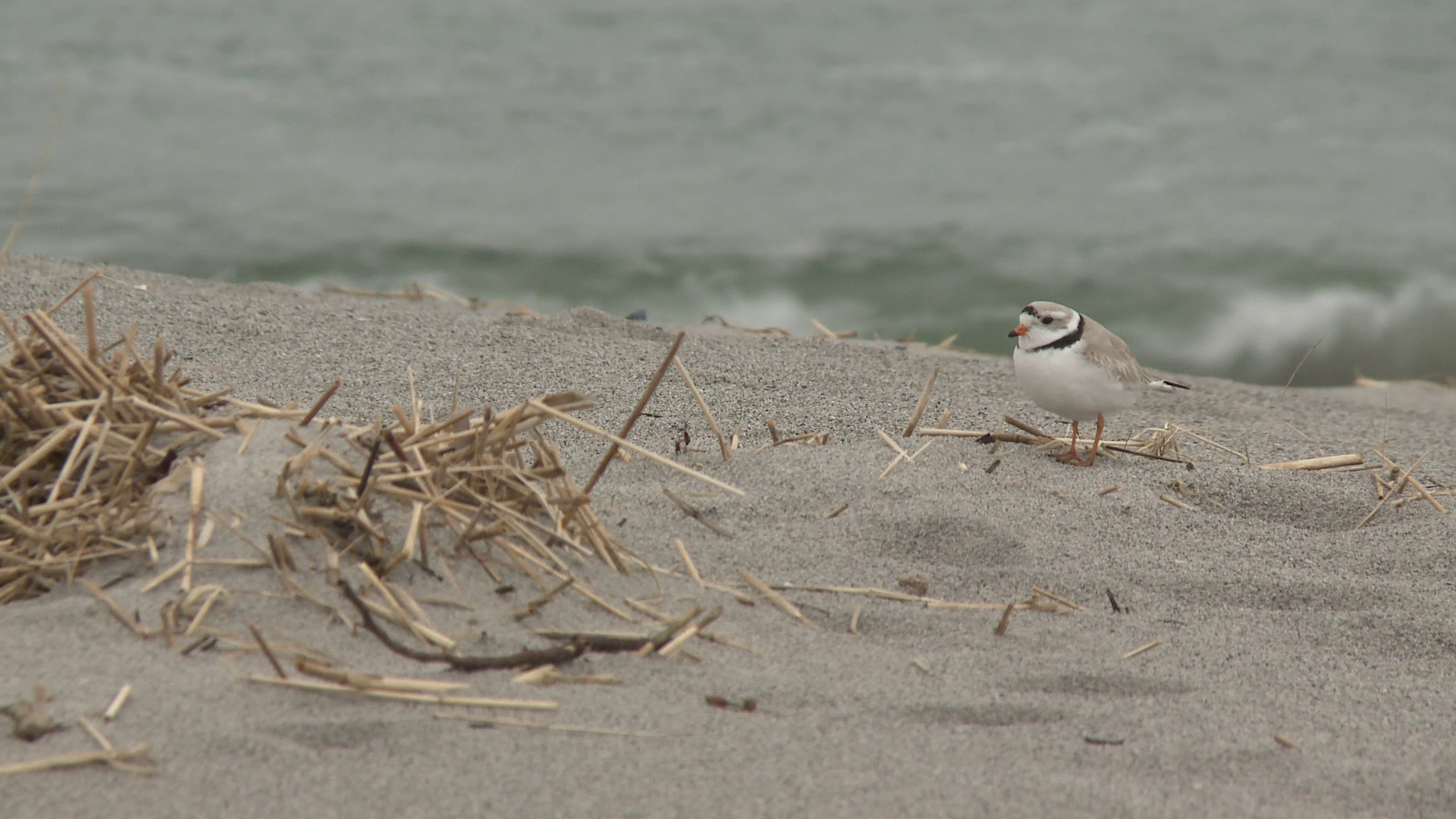 Piping plover nest