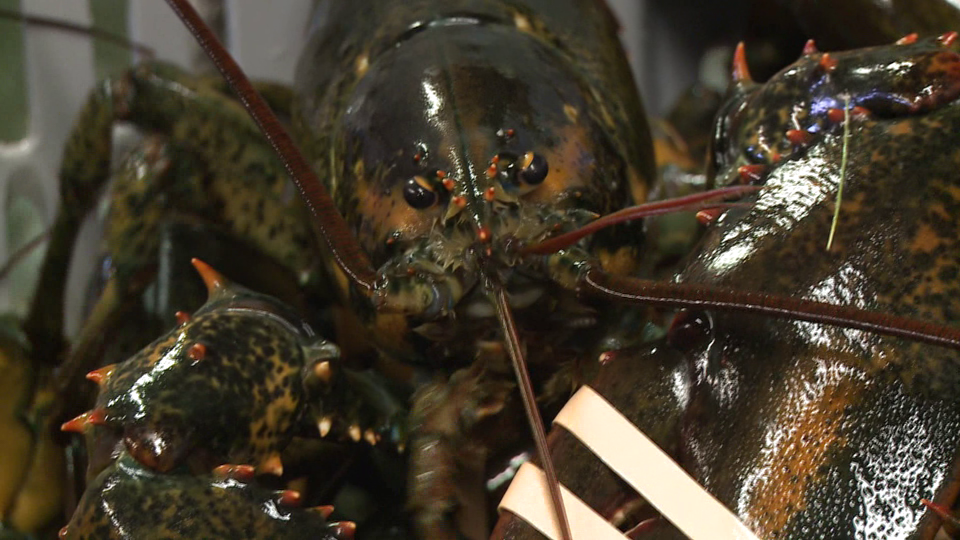 Lepage us should take on eu canada lobster tariff plan for Best time to visit maine for lobster